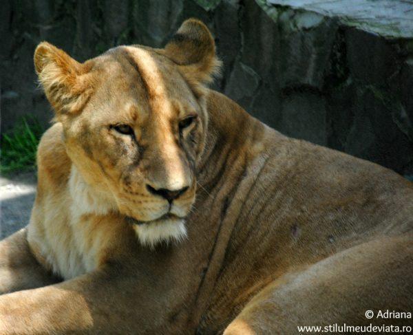 leoaica