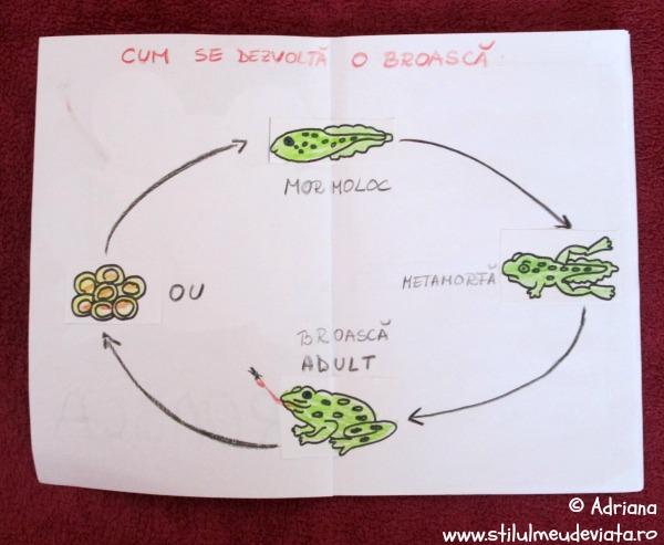 ciclul de evolutie al broastei
