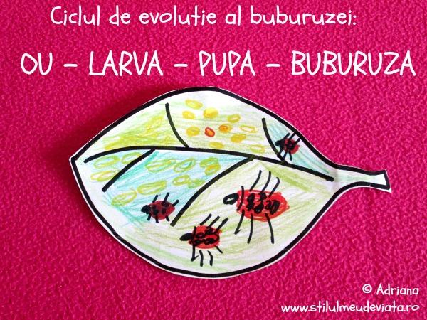 ciclul de evolutie al buburuzei