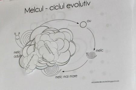 melcul, ciclul evolutiv
