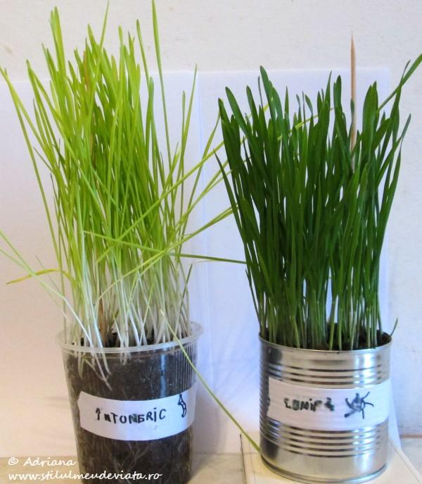 Experiment, soarele si dezvoltarea plantelor de grau, dupa 12 zile